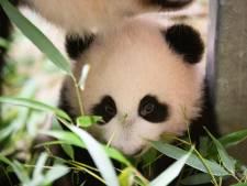 Ouwehands hoopt jonge panda nog deze maand te presenteren