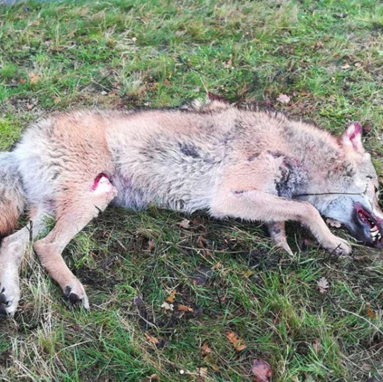 De wolf die Sebastiaan Bake vond langs de kant van de weg.