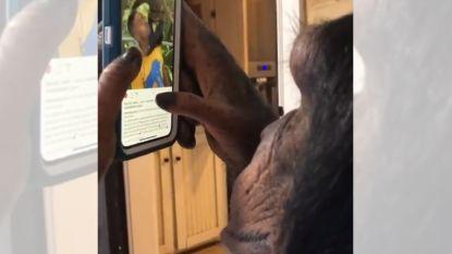 VIDEO. Chimpansee die door Instagram scrolt vertedert, maar er zit heel duister kantje aan