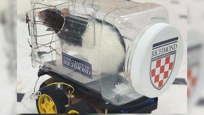 Zulke kleine bestuurders zag je nog nooit: ratten rijden in miniauto