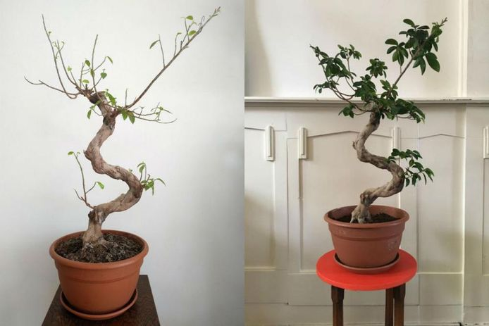 De ficus bonsai had te veel water gekregen.