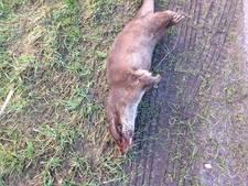 Weer sneuvelt een otter in het verkeer