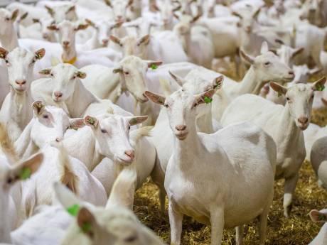 Rechter haalt streep door geitenverbod