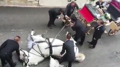Paard zakt in elkaar terwijl het koets met bruidspaar moet voorttrekken