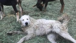 Onverschrokken hond loodst geitenkudde door Californische bosbranden