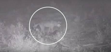Unieke beelden Veluwse wolf rond afgeschoten edelhert