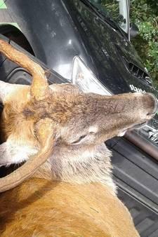 Bekendste hert van Veluwe 'Terror Teun' dood gevonden in tuin Kootwijk