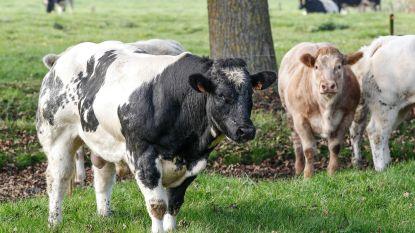 Glabbeek Proeft promoot Belgisch witblauw rundvlees
