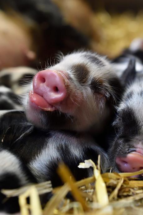 Tien biggetjes geboren op Amersfoortse kinderboerderij