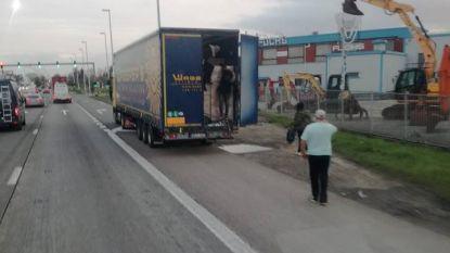Illegalen springen uit vrachtwagen langs A12: 13 personen opgepakt door politie