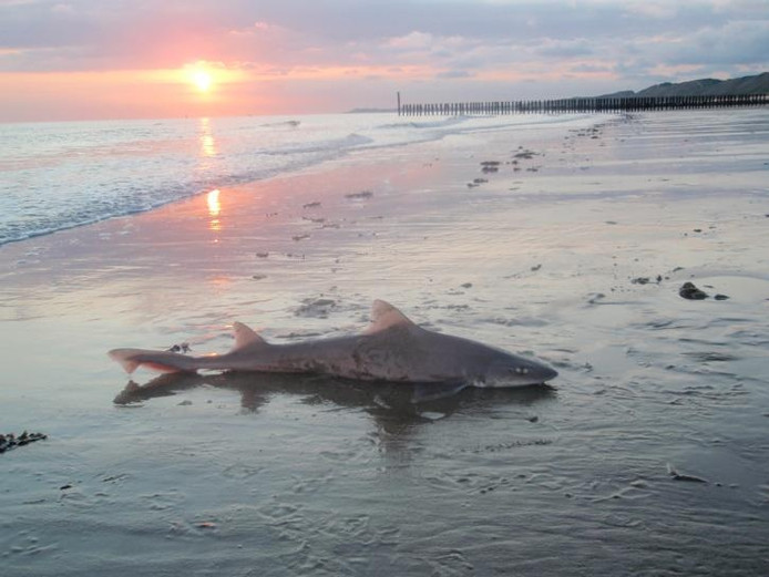 De negentig centimeter lange haai die woensdagavond bij Dishoek werd gevangen, is weer in zee gezet en weggezwommen. foto Wim Sturrus