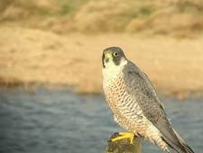 Snelste vogel ter wereld gespot in Soesterberg
