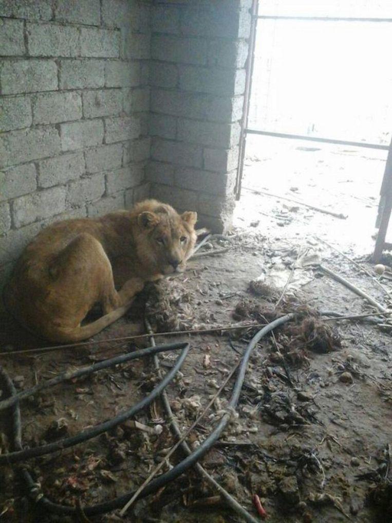 De enige leeuw in Mosul die het offensief heeft overleefd. Beeld Mosul Eye