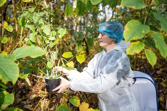 Lage Mierde - Biologe Suzanne Lommen zet de bladvlooien uit op een stuk grond van Landgoed Wellenseind. Na afloop doet ze de overall uit. Zo voorkomt ze dat er insecten via haar kleding meeliften naar een andere plek.