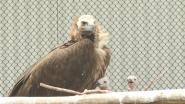 """VIDEO. ZOO Planckendael slaagt er in om een koppel monniksgieren twee jongen te laten adopteren: """"Wereldprimeur!"""""""