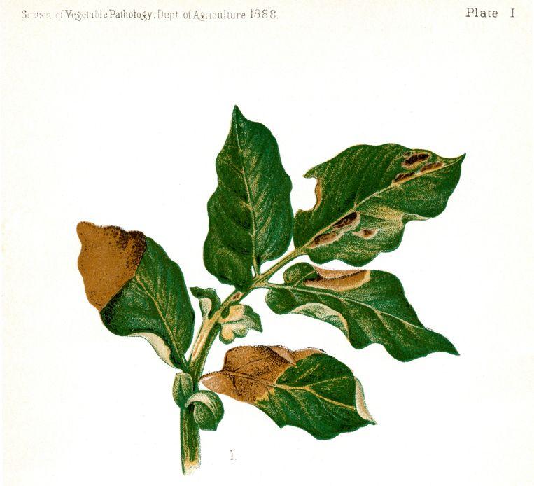Illustratie van het blad van een aardappelplant, van US Dept of Agriculture, uit 1888. Beeld Hollandse Hoogte / JT Vintage