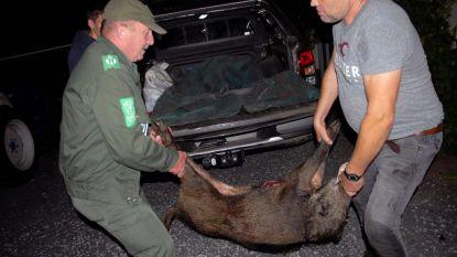 """Primeur voor boswachter: """"Eerste everzwijn geschoten in Kampenhout"""""""