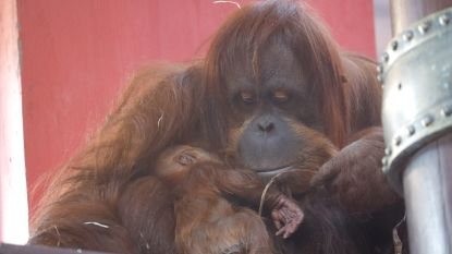 Een week goed nieuws: de eerste Belgische orang-oetan in 48 jaar en andere verhalen die je blij maken