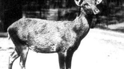 Uitgestorven hert blijkt stiekem nog te leven