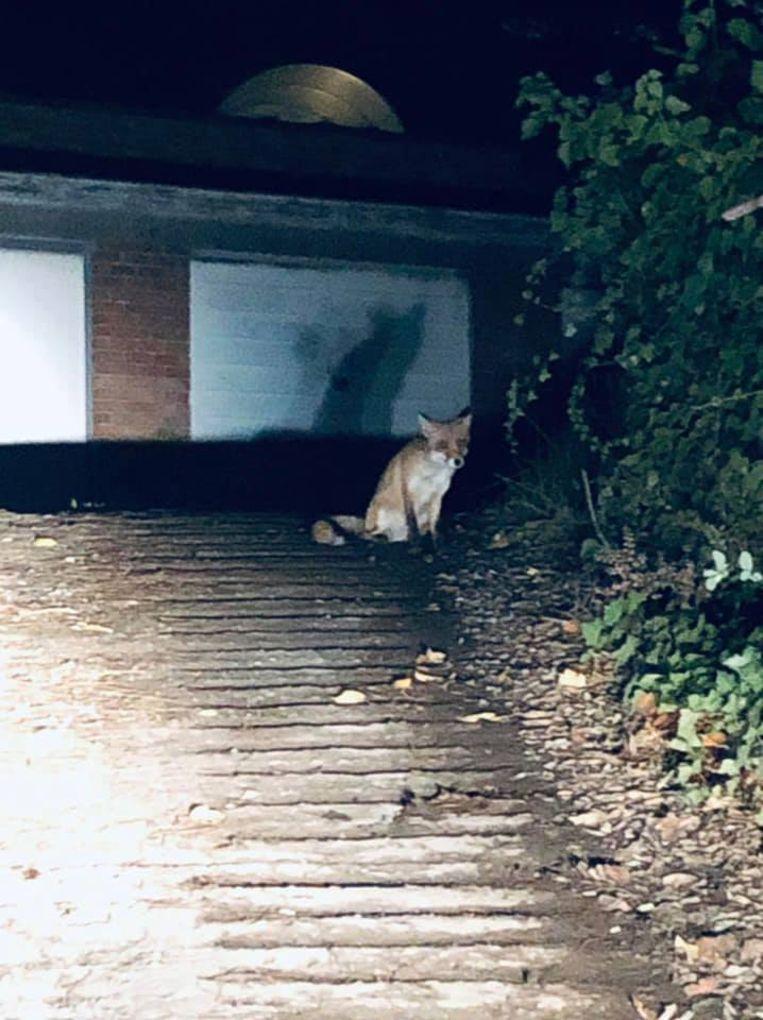 Joris Vandenbroucke kon nog net een foto en een filmpje maken van de vos