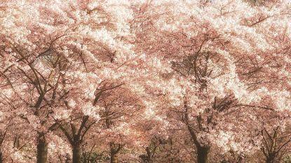 Geen geld om naar Japan te gaan? In Nederland is er ook kersenbloesempark