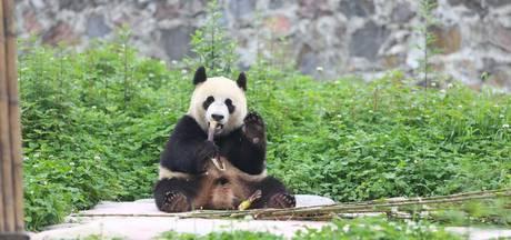 Panda's naar buiten: files verwacht en geen kaart meer te krijgen