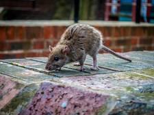 Rattenvanger: 'Nog nooit zo druk geweest'