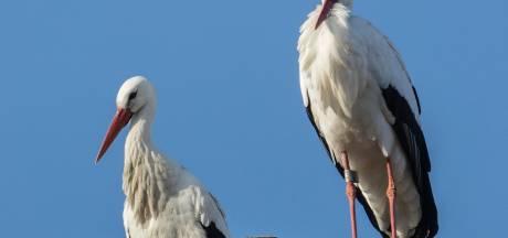 Foutje: Rijkswaterstaat trekt 'uitnodiging' aan ooievaars in uiterwaarden weer in