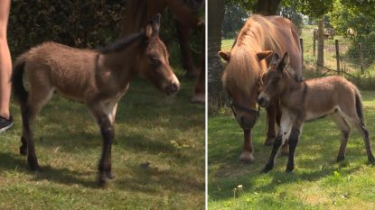 Zeldzame 'ponyezel' geboren in stal van Beernemse familie