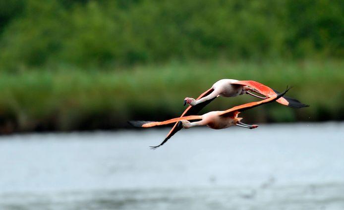 Twee flamingo's in volle vlucht. @ Frans Nikkels