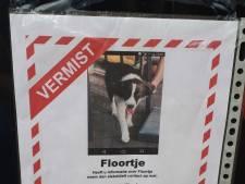 Vermiste hond Floortje na massale zoektocht gevonden