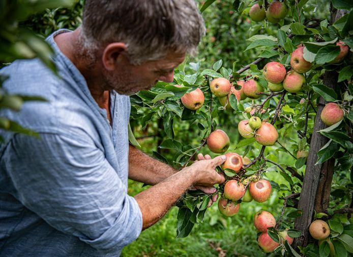 Toine Janssen inspecteert zijn appels .