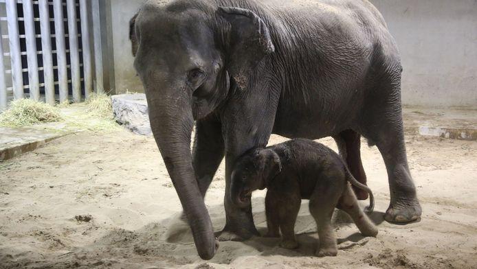Un petit éléphant d'Asie est né, fin février, à Pairi Daiza