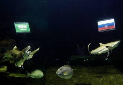 -rusland-wint-volgens-tijger-wolodja-thaise-haaien-denken-saoedi-arabi%C3%AB