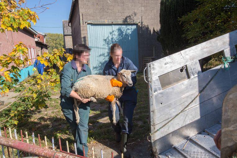 In oktober 2018 werd nog een zeventigtal schapen in beslag genomen.