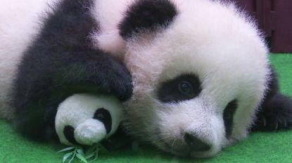 Schattige babypanda maakt voor het eerst kennis met de buitenwereld