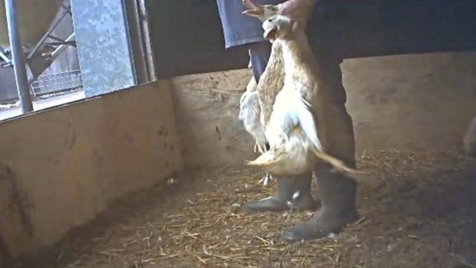 Een still uit de opnamen van Animal Rights bij een eendenfokkerij