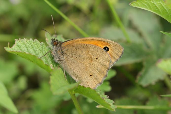 De vlinderaars telden dit weekend 867 bruine zandoogjes in het Kuinderbos.