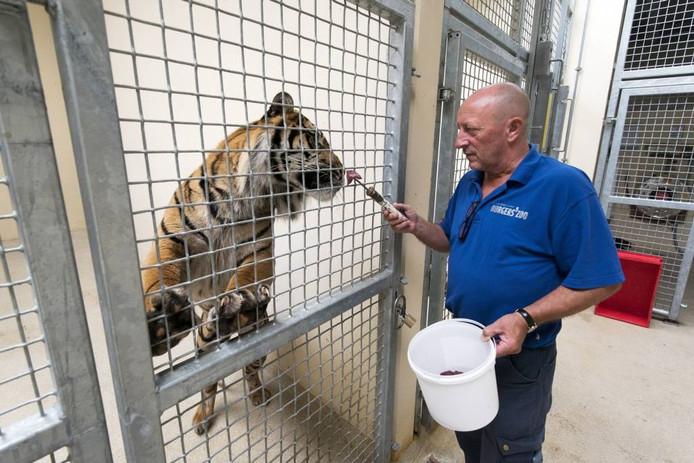 Theo Kruse geeft in het nachtverblijf een van de tijgers een stukje vlees op een stokje. Foto: Gerard Burgers.