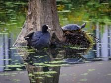 Waterschildpad massaal gedumpt in natuur