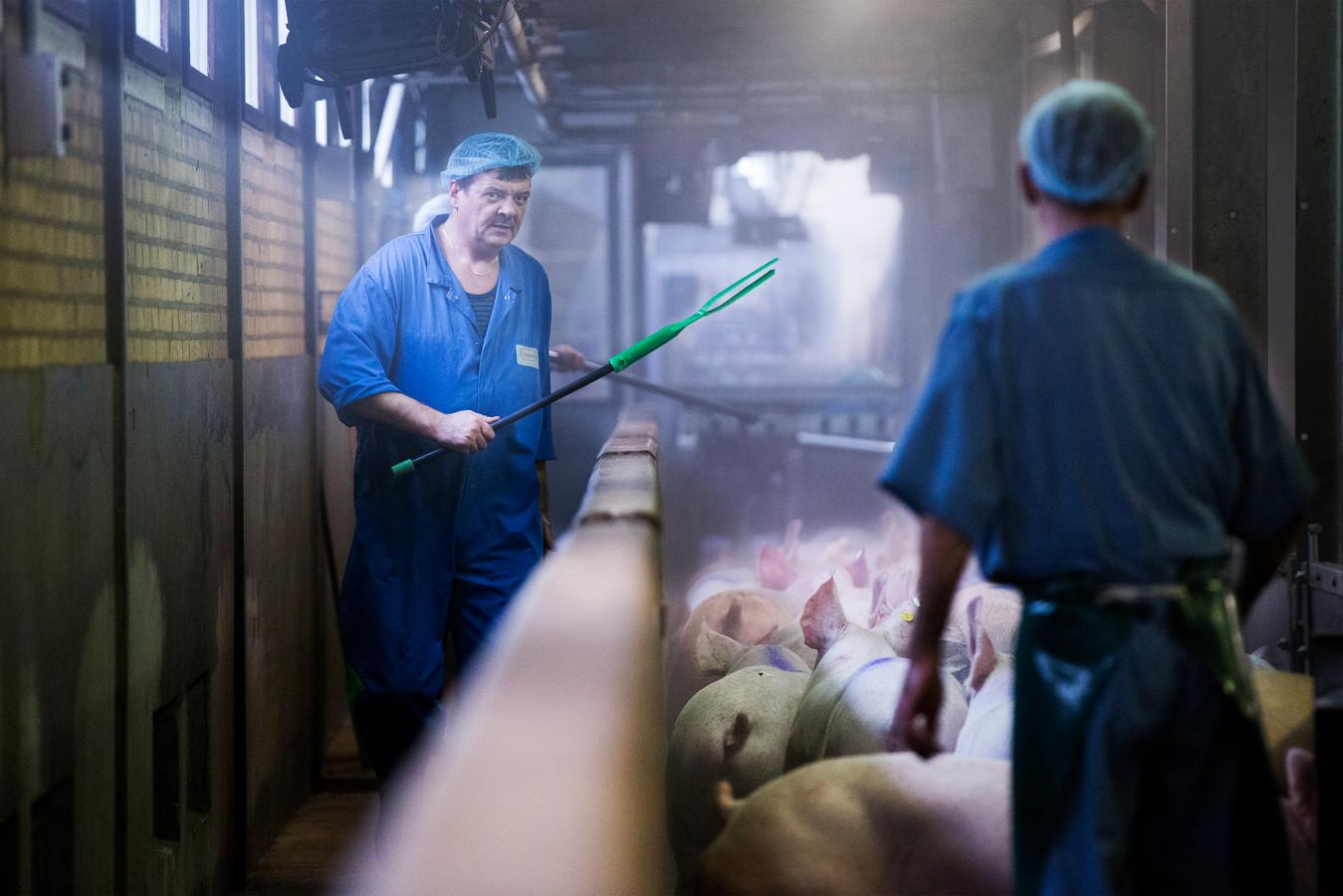 Bij Compaxo lopen de varkens in hun laatste meters naar het licht toe. Dat geeft volgens biologen minder stress.