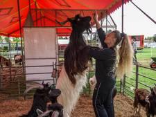 Circus Barani treedt op in Drunen met duiven, paarden en ganzen:'Ze werken voor je als ze liefde voelen'