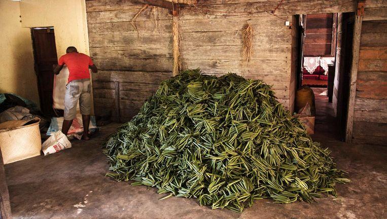 Een stapel vanilleplanten op een boerderij in Bemalamatra, Madagascar. Beeld afp