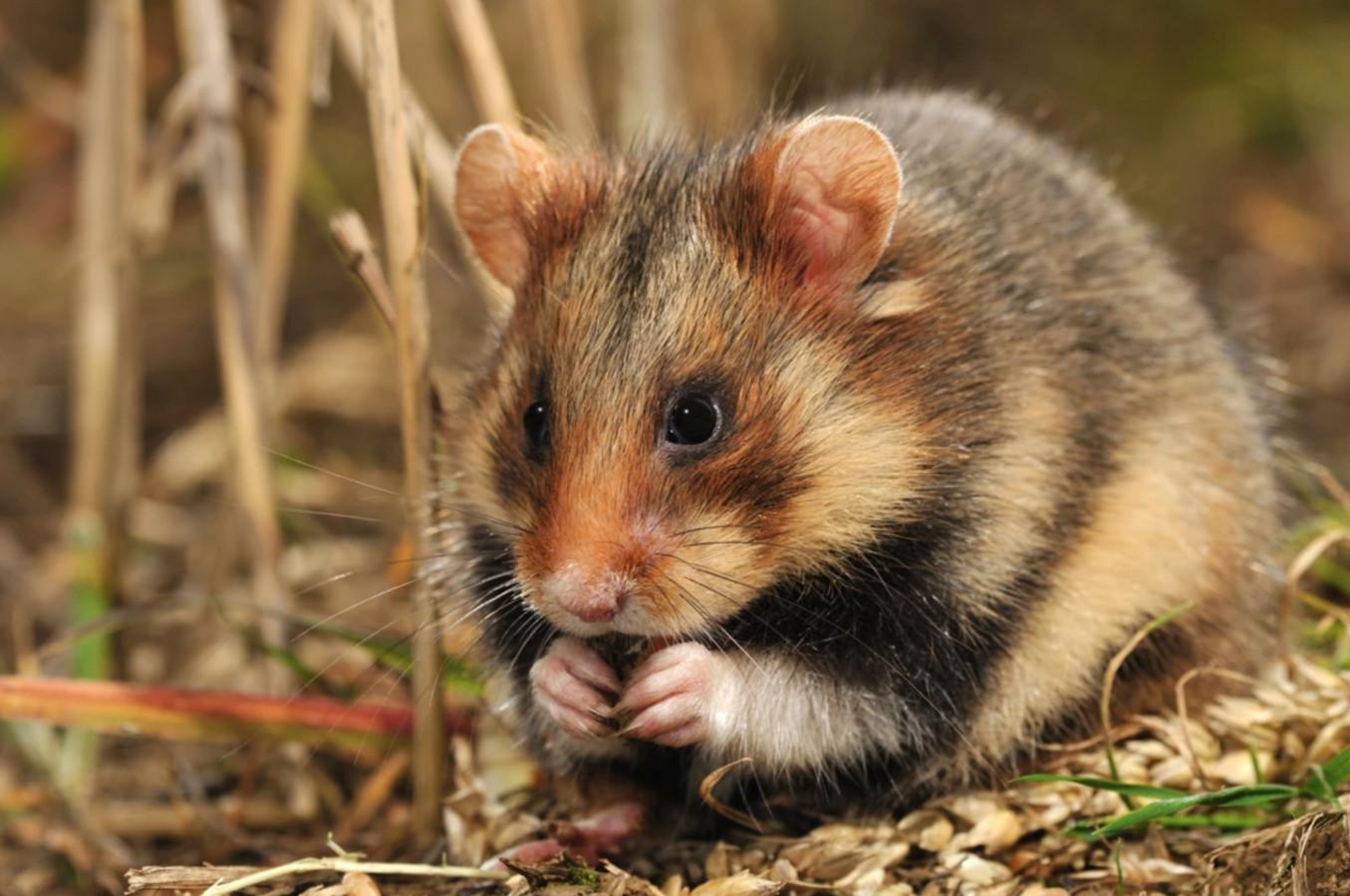 In Widooie  worden 27 wilde hamsters uitgezet.