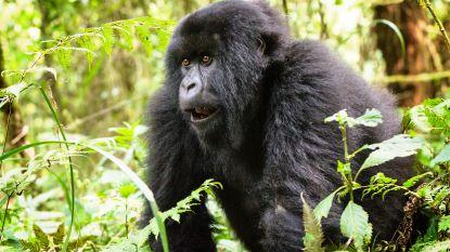 Vier zeldzame gorilla's, waaronder zwanger vrouwtje, gedood door bliksem in Oeganda