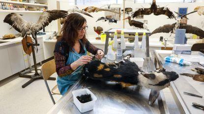 Museum voor Natuurwetenschappen opent nieuwe museumzaal met honderden opgezette dieren