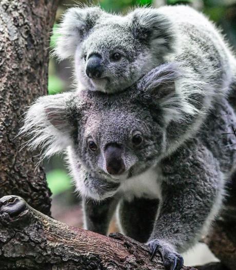 'Koala gaat de orang-oetan achterna'