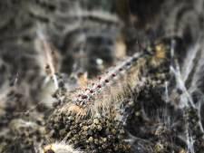 'Blijf uit het bos': eikenprocessierups in Herwijnen