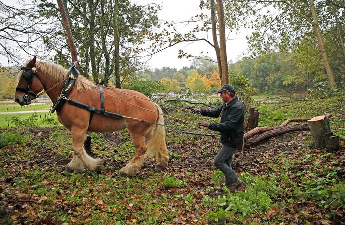 Trekpaard Emma sleept de stammen met haar tuig vanuit de duinen naar de parkeerplaats.