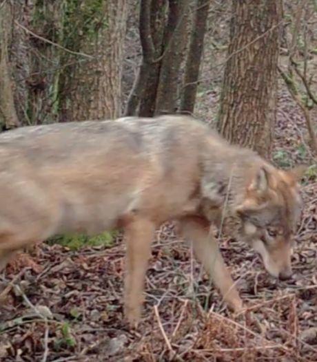 Surveillance accrue pour protéger le couple de loups et ses louveteaux